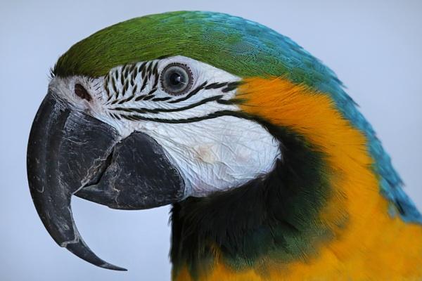 Parrot portait by Planman