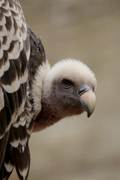 Griffon Vulture by Planman