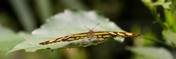 Malachite Butterfly by Wazzay2k1