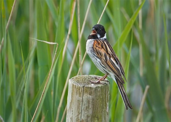Reed Bunting (Emberiza schoeniclus) by DerekL