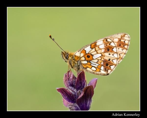 Butterflies 2015 No 27 by tomcat