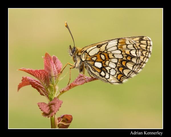 Butterflies 2015 No 28 by tomcat
