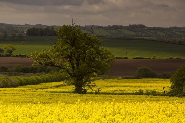 Yellow field by TrevorPlumbe