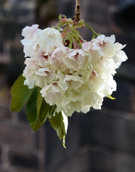 Blossom by alfieB