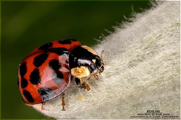 Harlequin Ladybird by Paul_Iddon