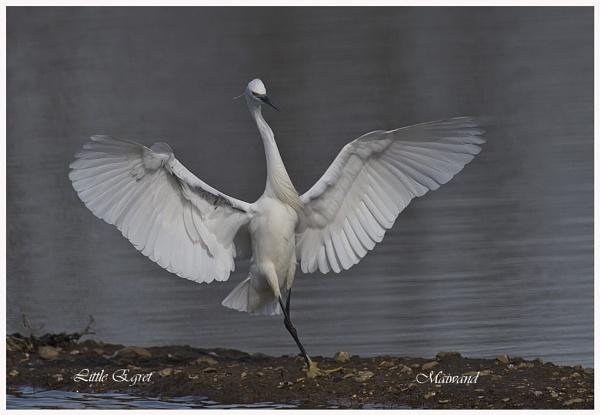 Dainty Dancer by Maiwand
