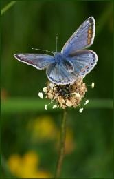 Female Common Blue.