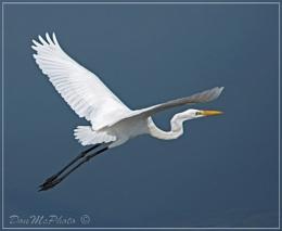 Great Egret 15-04 (X) (Ardea alba)