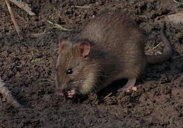 Rattus norvegicus by gonedigital62