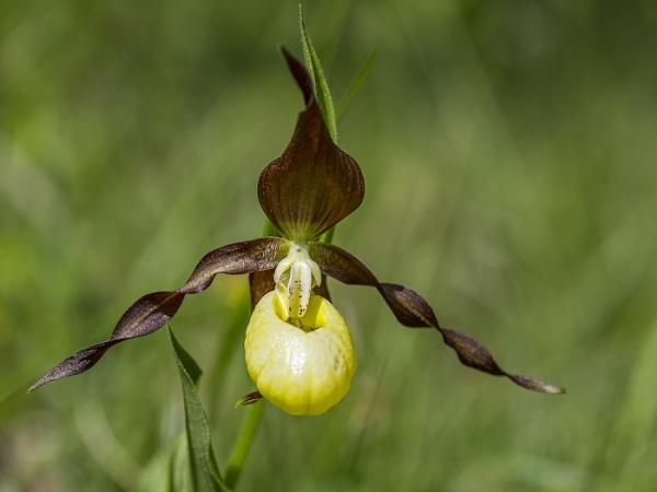 Lady\'s slipper orchid (Cypripedium calceolus) by ajdh