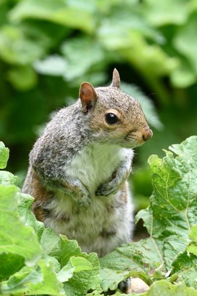 Squirrel by Malty