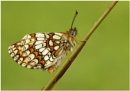 Heath Fritillary by NigelKiteley