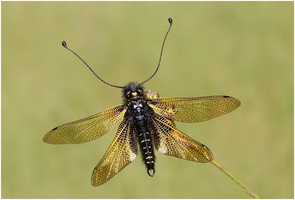 Libelloides hispanicus by NigelKiteley