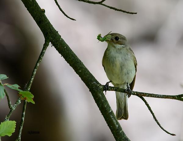 Female Pied flycatcher by rsjkinson