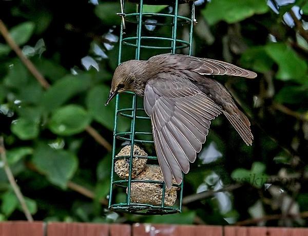 Starling by rsjkinson