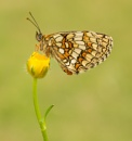 Heath Fritillary by john_starkey