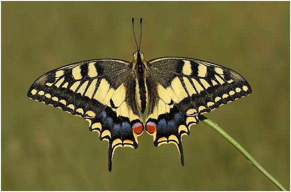 Swallowtail by BenKiteley