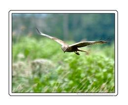 Monagu's Harrier on the Hunt