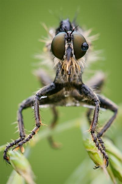 Robberfly - Asilidae sp. by Mendipman