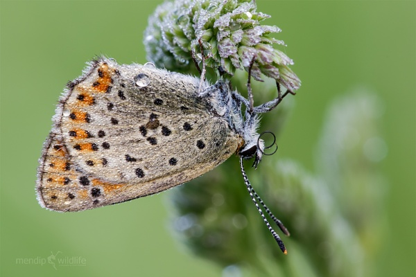 Sooty Copper - Lycaena tityrus by Mendipman