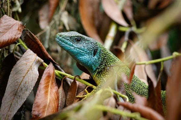 Eastern Green Lizard - Lacerta viridis by Mendipman