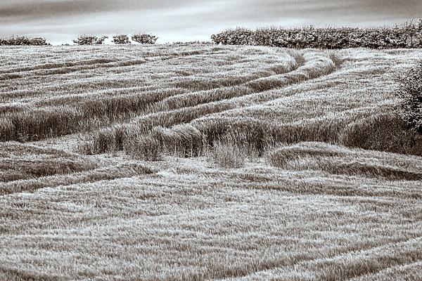 Cornfield by cats_123