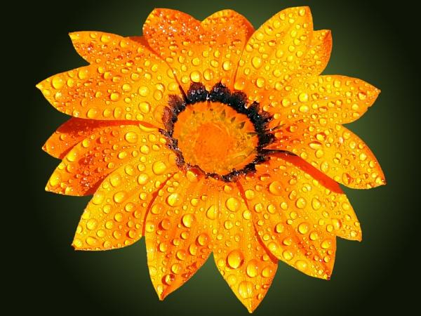 2680-orange gazania by binder1