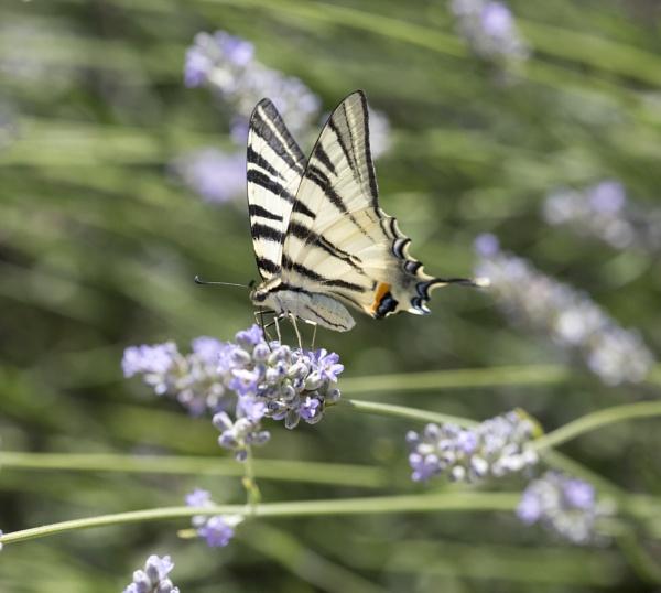 Swallowtail by MidnightMaya