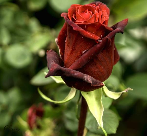 Red velvet. by pentaxpatty