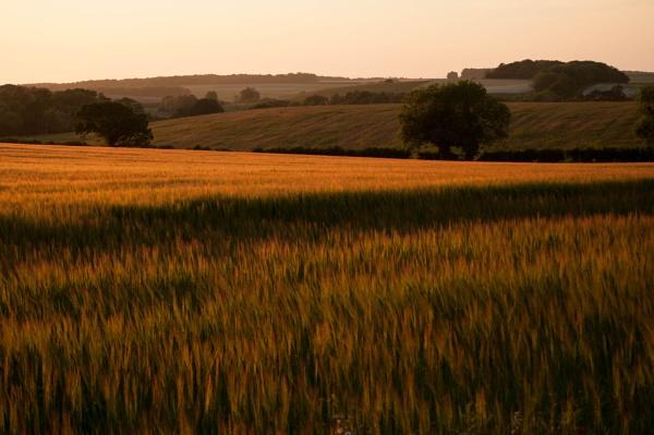 Barley field near Snettisham, Norfolk by Putnam