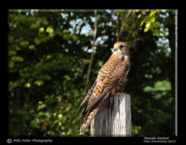 Female Kestrel by ninpo135