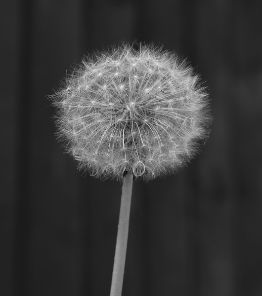 Just a Dandelion! by Alan1297