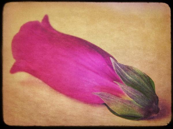 foxglove by enfys