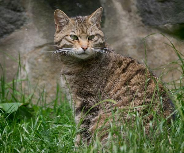Scottish Wild Cat by bppowell