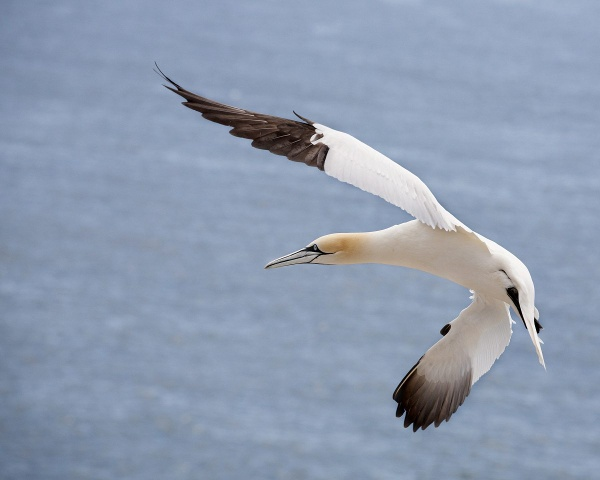 Acrobatic Gannet by ladigit