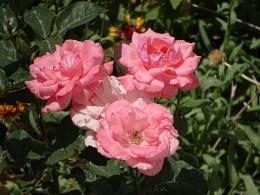 mesmerizing roses
