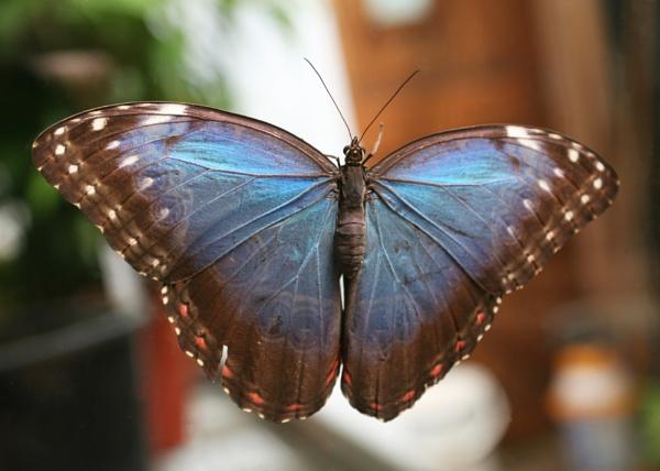 Blue Morpho Butterfly by Wazzay2k1