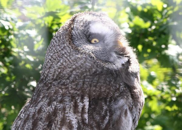 Great Grey Owl by Wazzay2k1