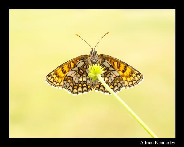 Butterflies 2015 No 29 by tomcat