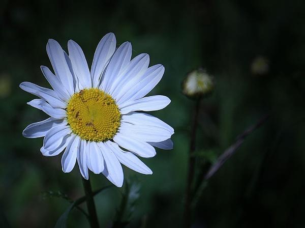 Daisy Daisy by ChristineD