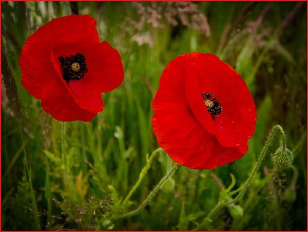 Poppies. by myrab