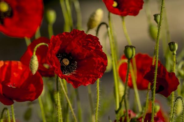 Poppy field by TrevorPlumbe