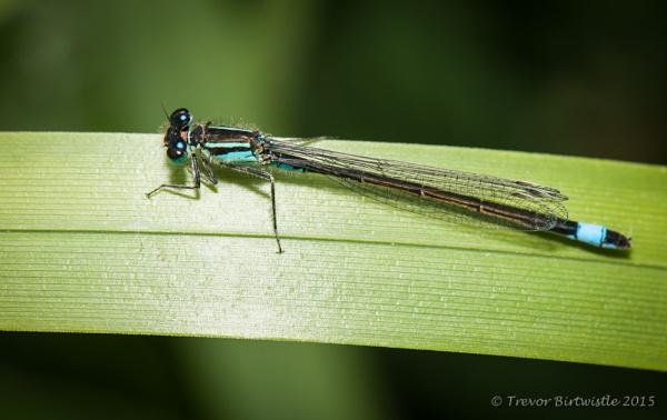 Blue Tailed Damselflies by Trev_B
