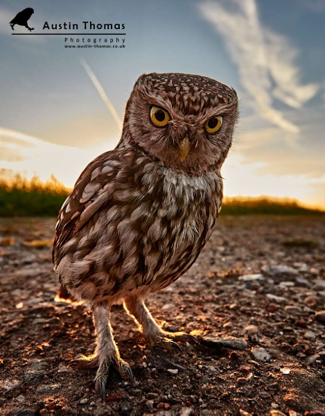Wide angle Wildlife - Little Owl by Austin_Thomas