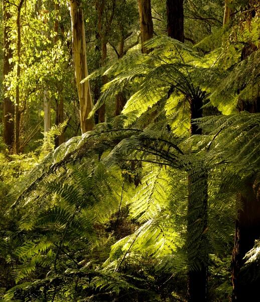 Afternoon Light through Tree Ferns by Elfix6