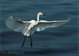 Great Egret 15-04 (XIV) (Ardea alba)