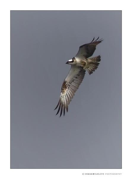 scottish wildlife by craggwildlifephotography