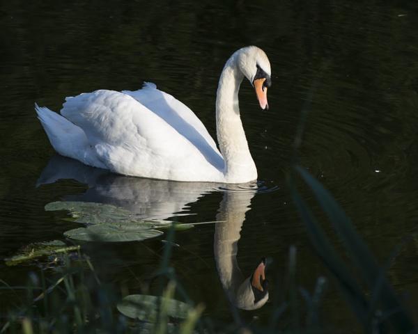Swan in Bedford by Aphelion3010