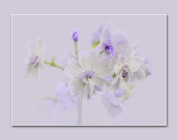 Purple Haze by sweetpea62