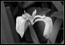 Flag Iris by JawDborn